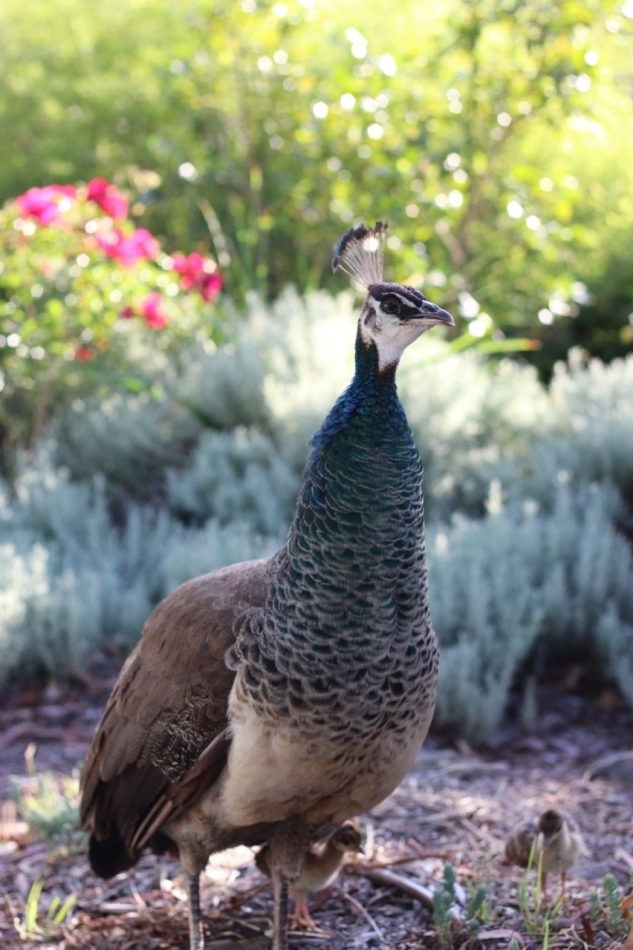 Peahen and chicks at Narrabundah