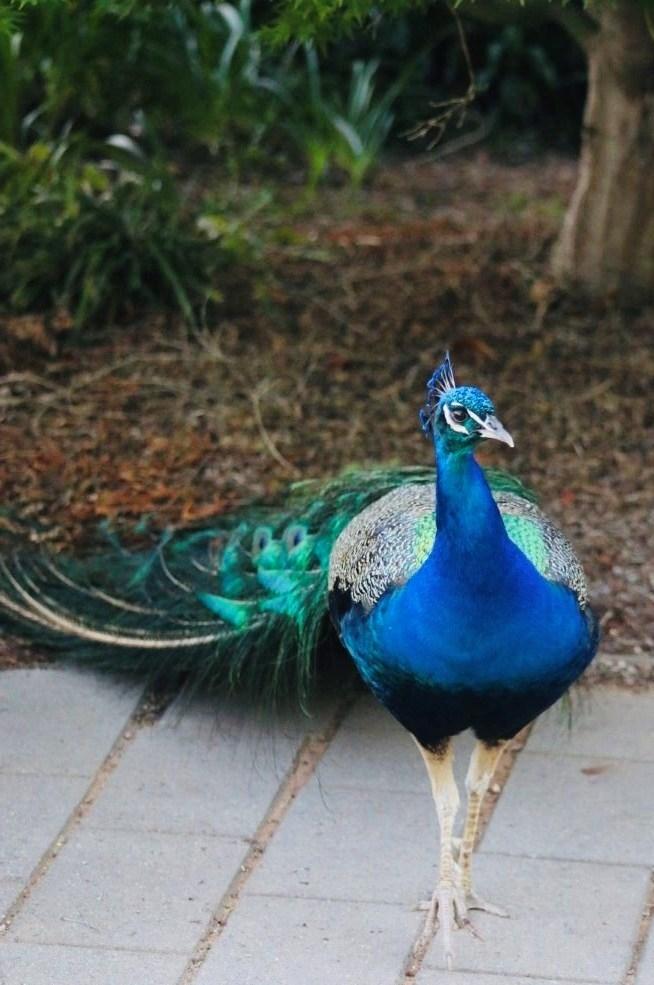 Peacock at Narrabundah