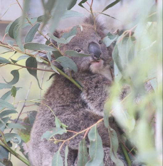 Koala at Tidbinbilla Nature Reserve
